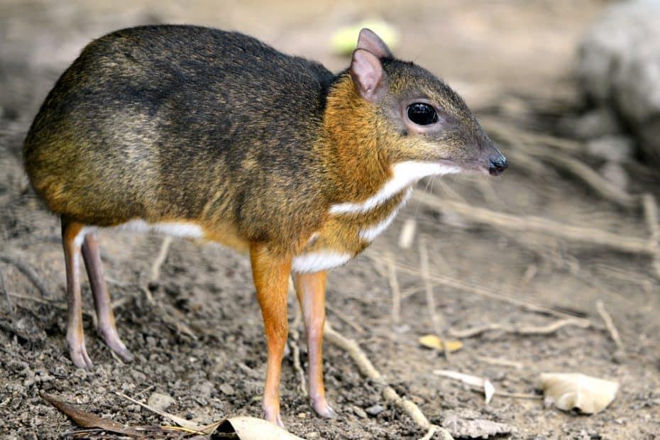 ¿Qué es un ciervo ratón?