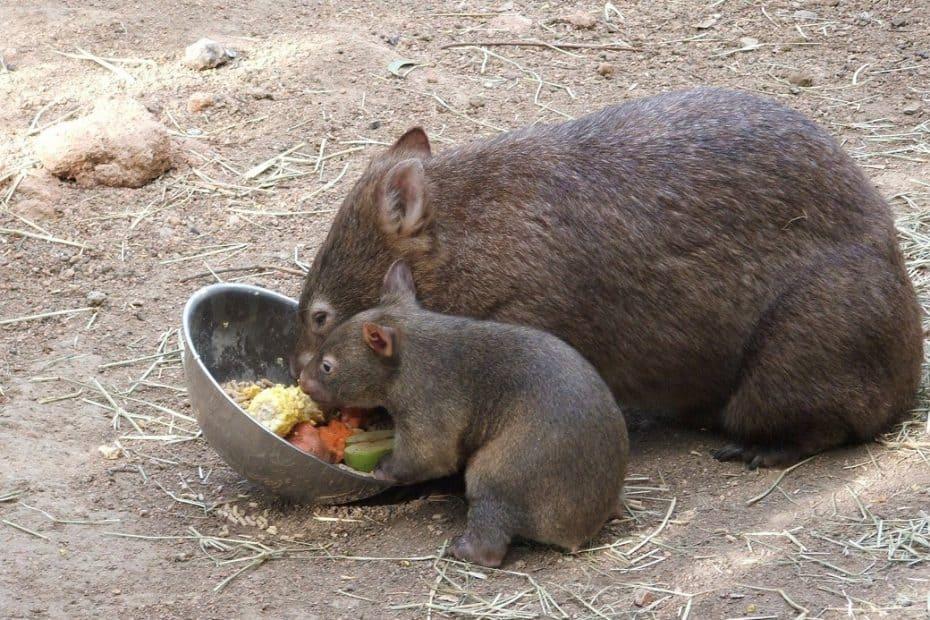 que es un wombat