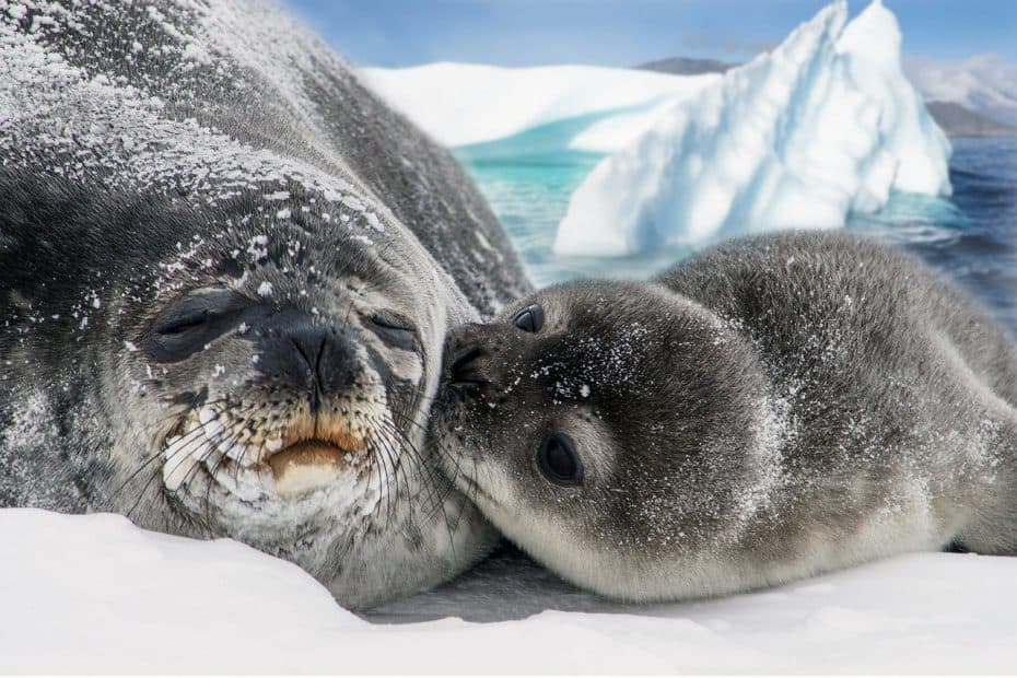 que es una foca de weddell