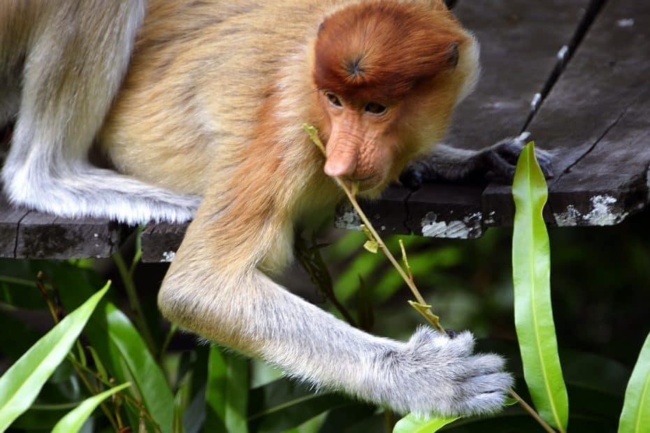 que es el mono de nariz larga