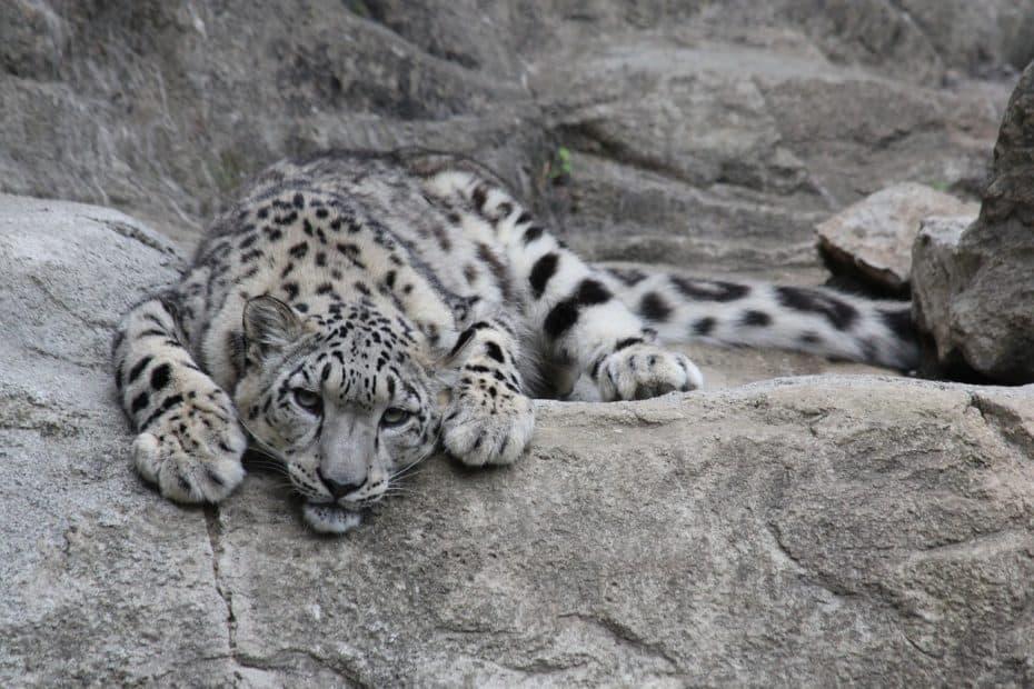 que es un leopardo de las nieves