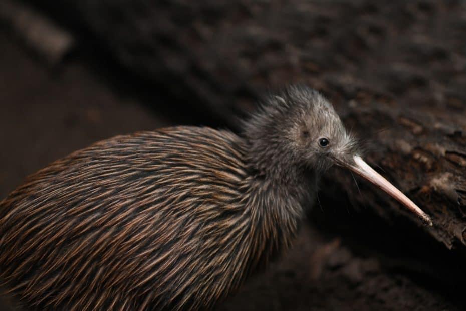 Kiwi, animal de Nueva Zelanda