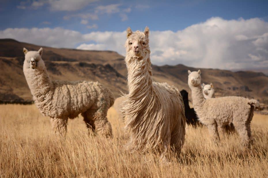 Animales de Perú